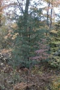 my-white-pine